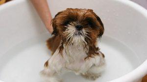 Cuándo bañar a tu cachorro