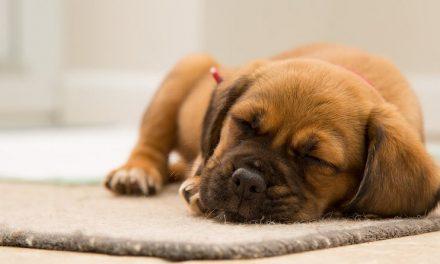 ¿Cuánto duerme un cachorro? ¿Y un perro adulto?