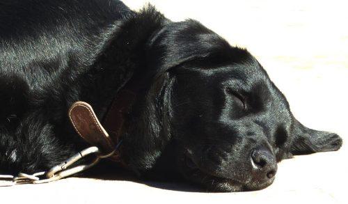 Cuánto duerme un perro anciano