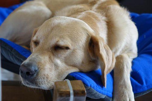 Enseñar a perro a ir a su cama